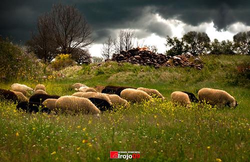 Frente a la tormenta | Ovejas | Valdeavellano