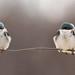 Birds on a wire by Chizuka2010