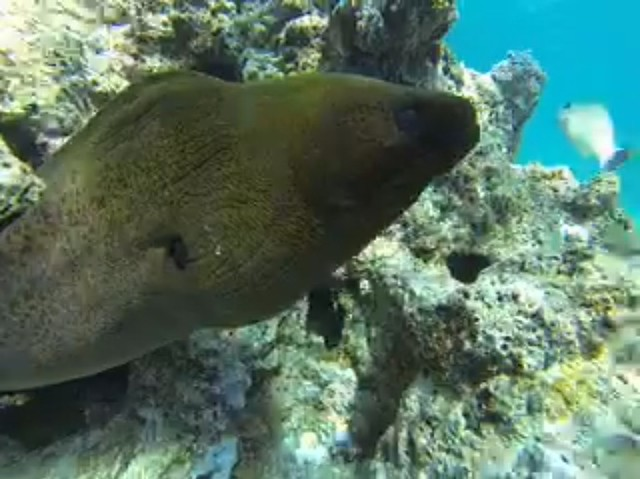 Moray Eel in Bora Bora