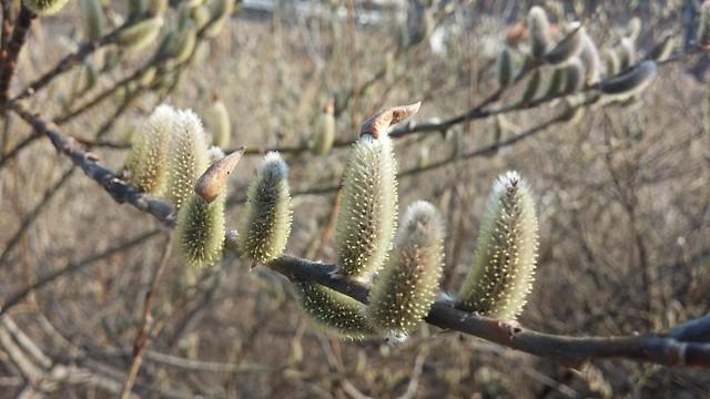 아침산책길: 살랑살랑 꼬리달린(!) 버들강아지(버드나무꽃)