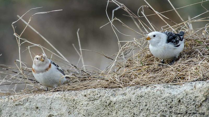Plectrophanes des neige, plumage nuptial. 26098921112_64b5230c95_c