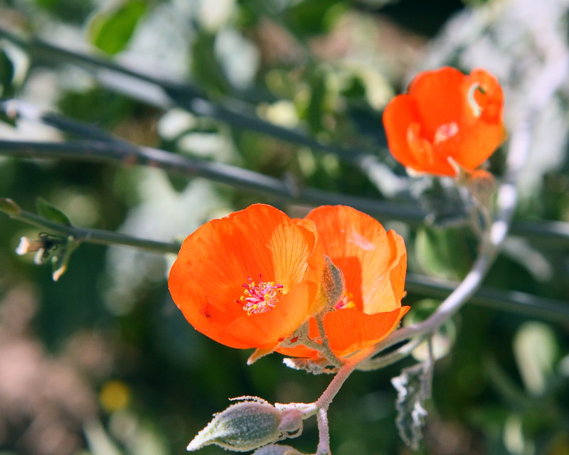 IMG_3839 Desert Globemallow (Apricot Mallow)