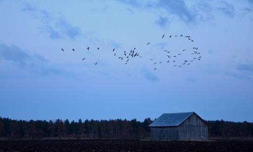 sunset bird nature field birds clouds barn suomi finland landscape evening countryside spring swans maisema ilta luonto pilvet lintu auringonlasku kevät lato maaseutu pelto joutsenet