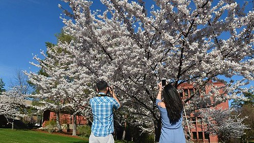 "The #Yoshino cherry trees planted 14 years ago @wsupullman owe their existence to a donor living on the other side of the Pacific Ocean. Koichiro Iwasaki, who earned his master's degree in economics at #WSU in 1983, donated the trees ""to symbolize a perma"