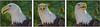 Faces of Sonora, Bald Eagle