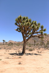 Joshua Tree NP: a Joshua Tree