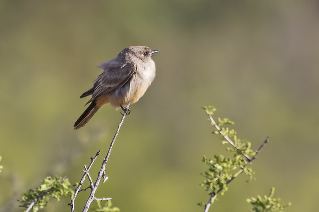 Say's Phoebe 3-7D2-170416