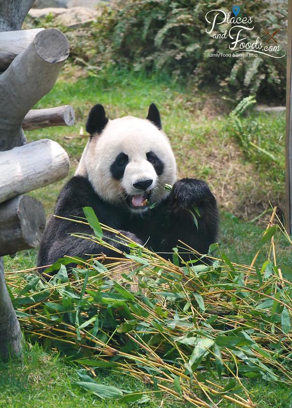 macau panda pavilion panda eating