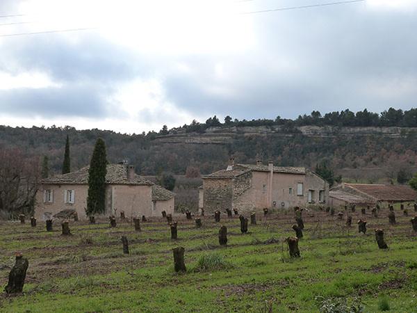 oliviers coupés