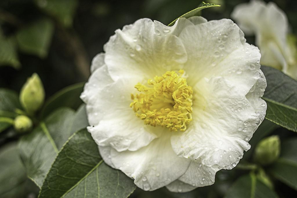 Camellia in December