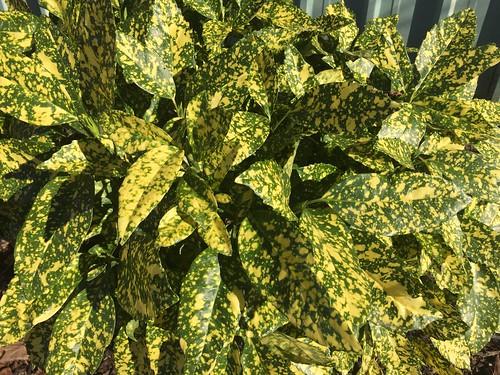 Aucuba japonica 'Variegata' 12 21 15 (2)