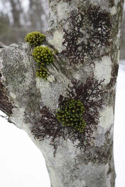 DSC00657 Moss on Tree