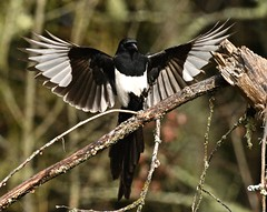 Black Billed Magpie in for a landing.