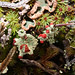 Cup lichen by Montucky