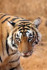Ranthambhore Tigers, India, Feb 2016