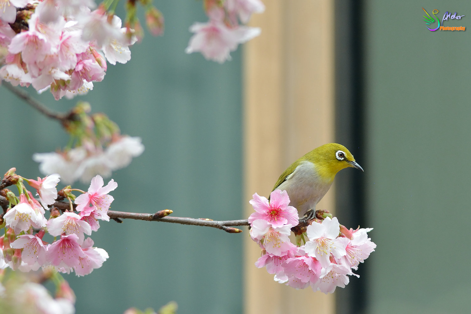 Sakura_White-eye_6790