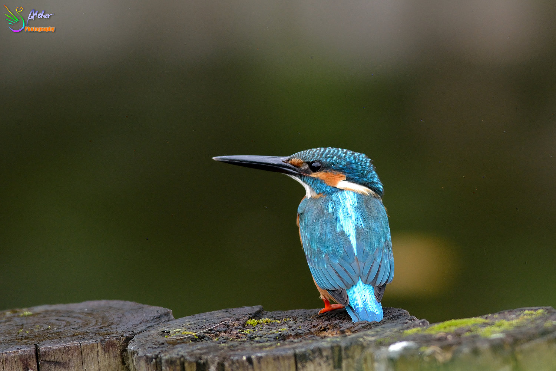 Common_Kingfisher_4156