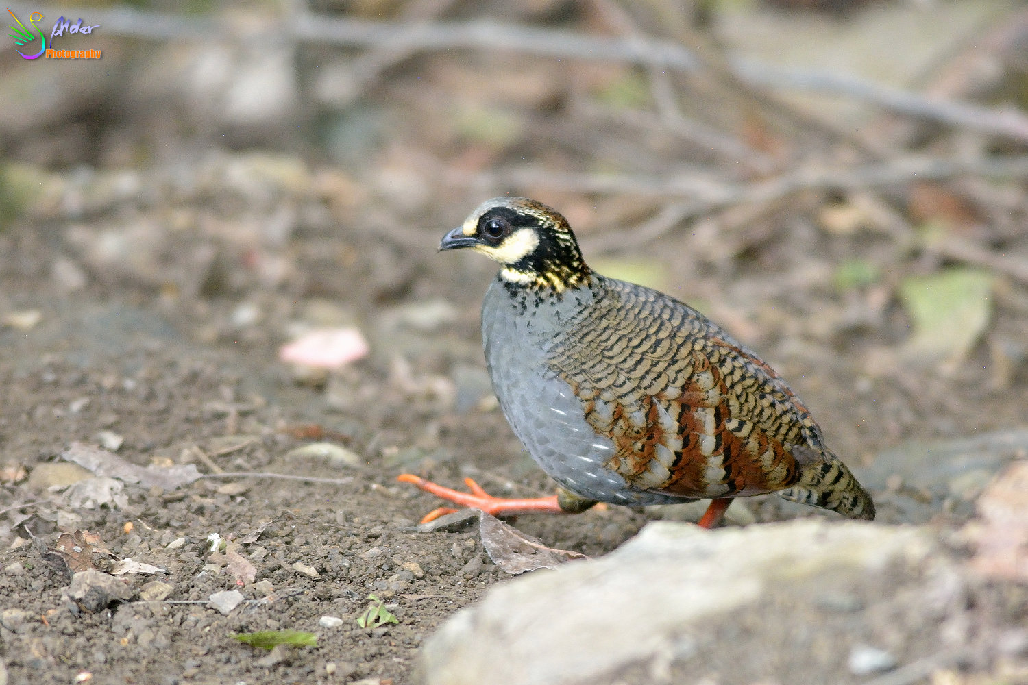 Formosan_Hill_Partridge_0537
