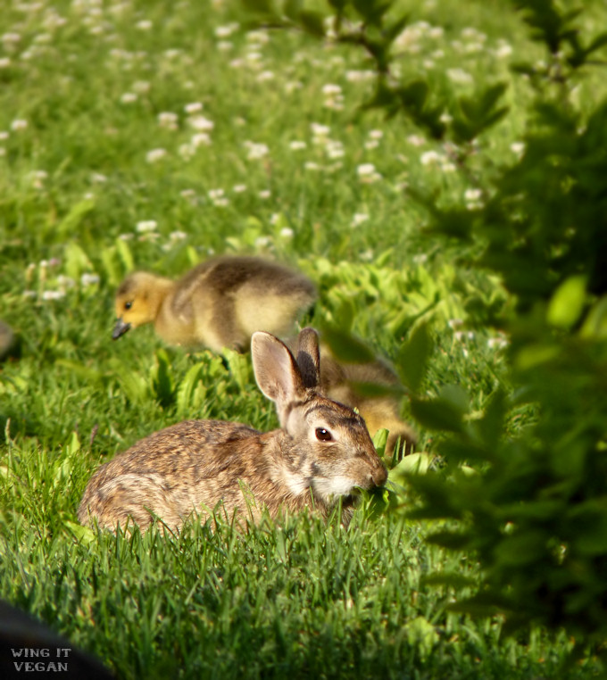 Baby Geese and Bunny