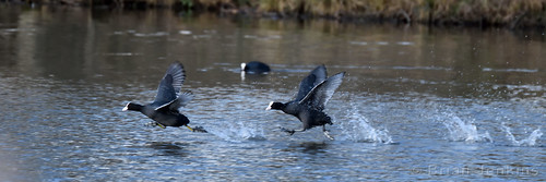 Eurasian Coots Taking Off