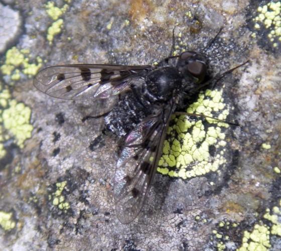 Anthrax varius 25578573975_a4e245cb56_o