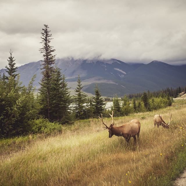 Elk probably - Rockies, BC, Canada