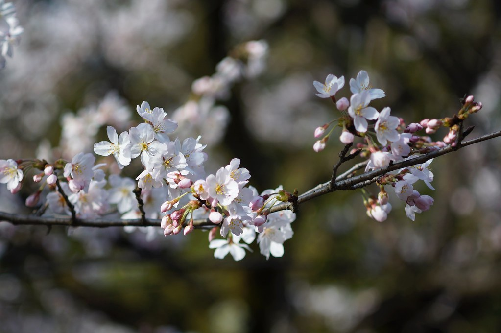 Cherry Blossoms x Vario-Sonnar 80-200m F4
