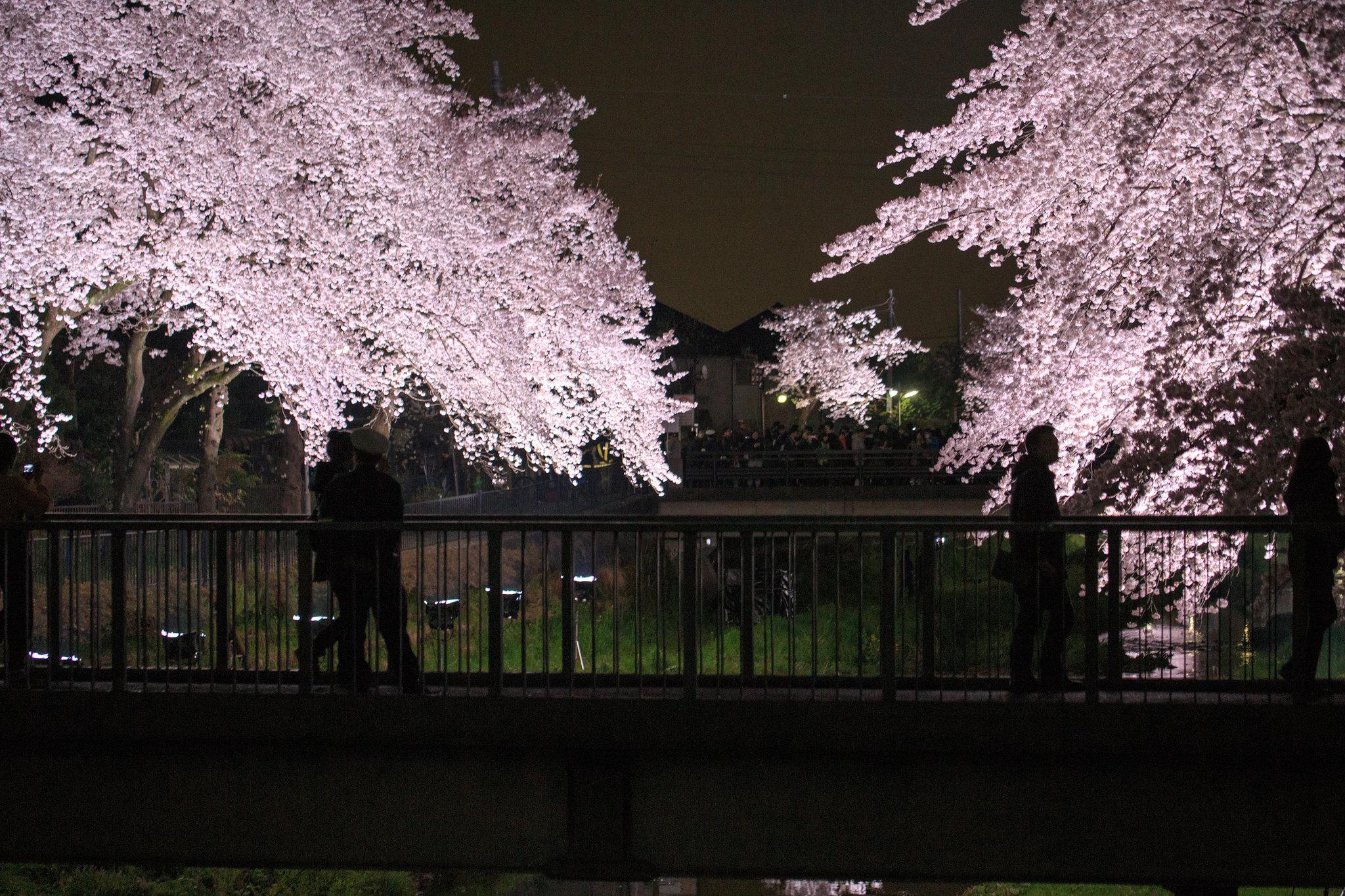 2016-04-05 野川桜ライトアップ 002