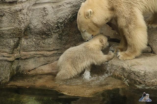 Eisbär Lili im Zoo am Meer Bremerhaven 09.04.2016 Teil 2  010