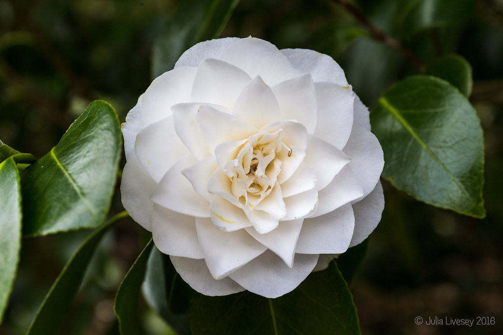 A near-perfect Camellia