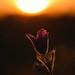 Pasque Flower by Benjamin Joseph Andrew