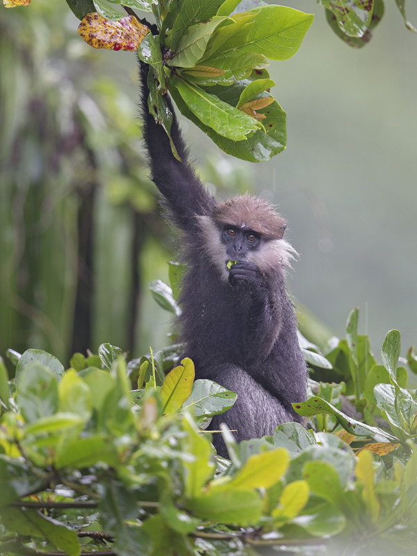 Purple-faced Langur 1