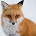 Red Fox by Paula Cheese