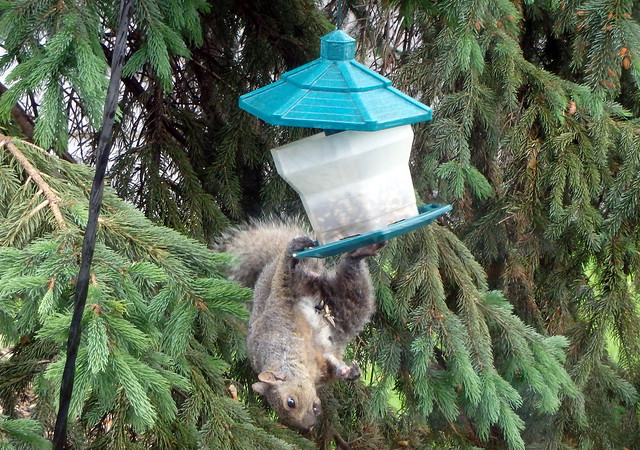 squirrel hanging upside-down from a birdfeeder that is cracked open from the strain
