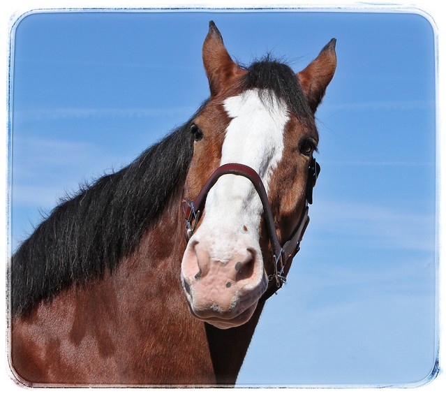 Famous Budweiser Clydesdale at Rillito Race Track in Tucson.