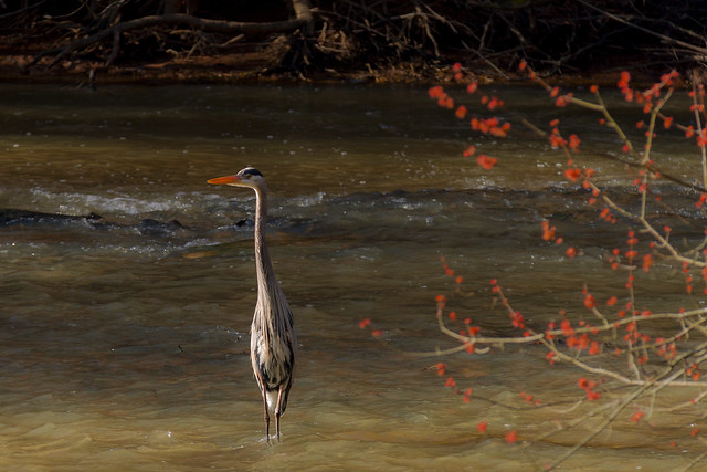 A Watchful Heron