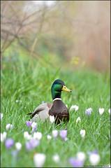 Ducks-Shore Birds and Waterfowl