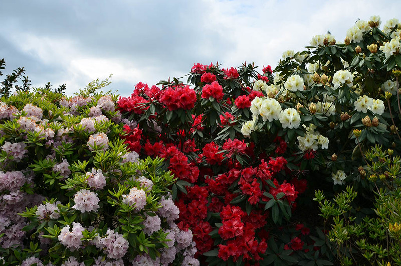 rhododendron3