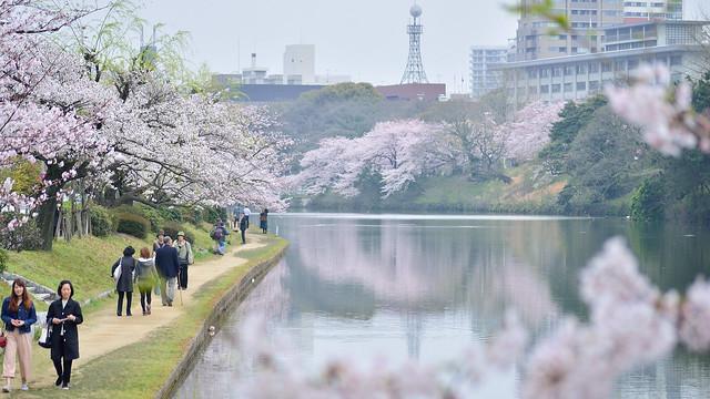 桜並木 _舞鶴公園