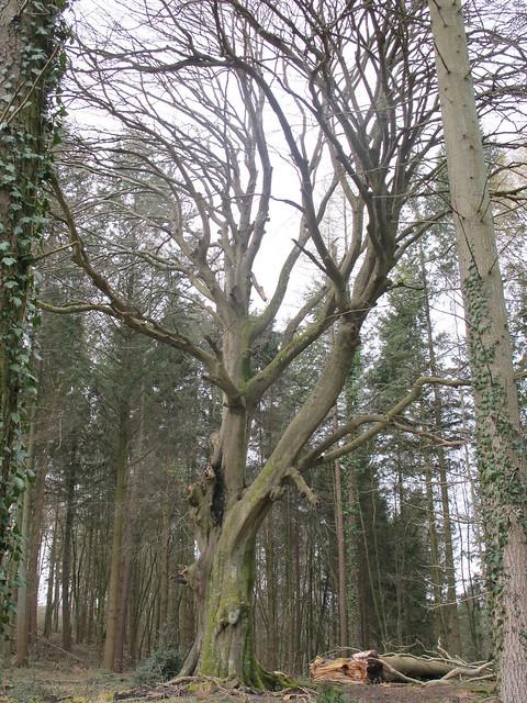 Old Beech Tree, Spearywell Wood