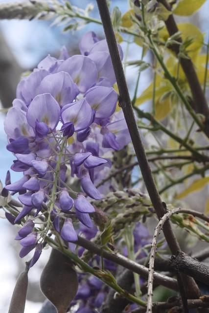 月, 2016-03-21 11:20 - wisteria フジ