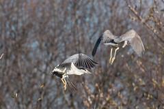 IMG_2138.jpg Black-crowned Night-heron, Watsonville Slough