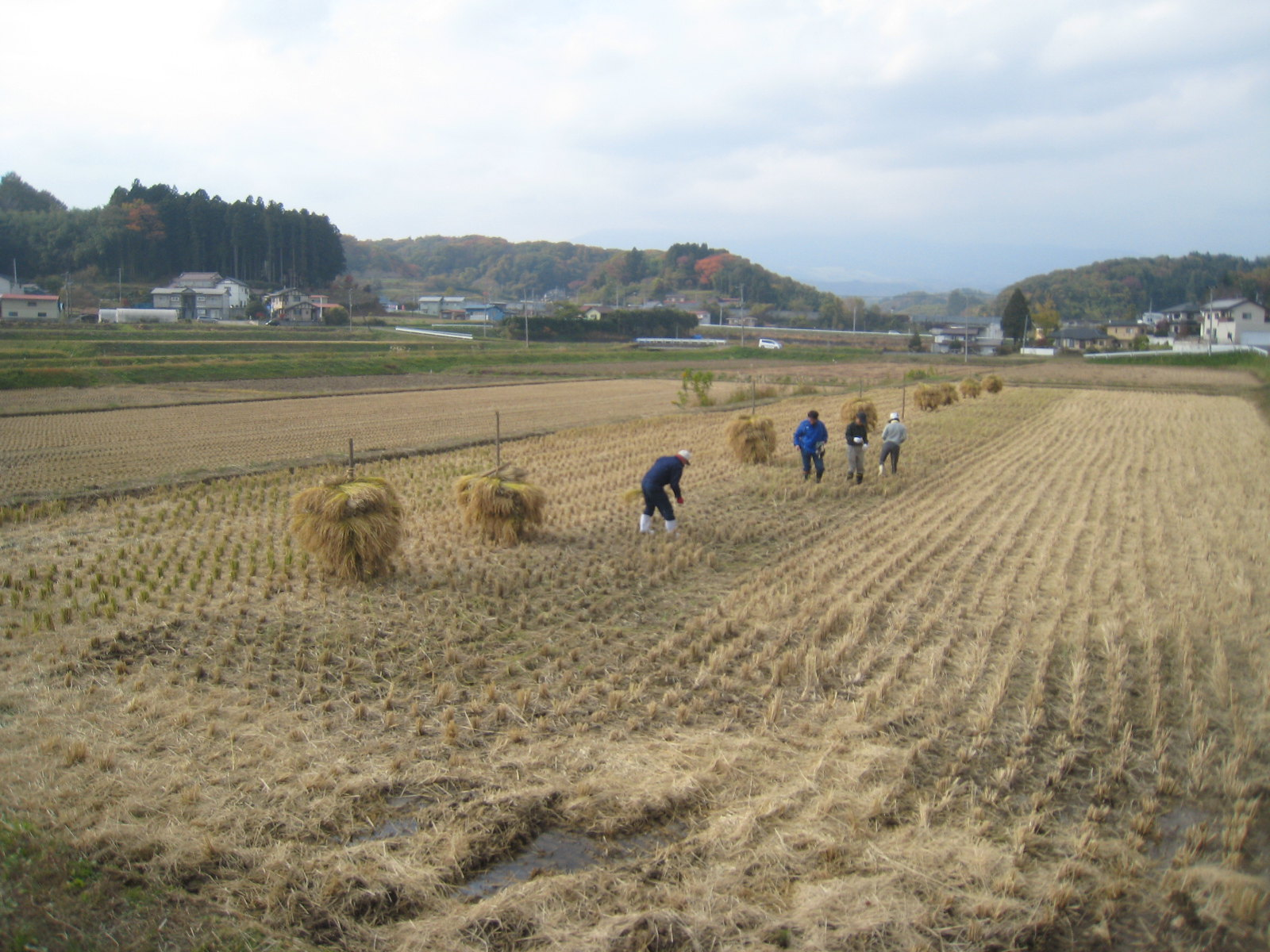 Rice Harvest in Autumn