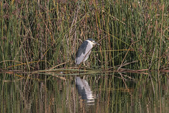 IMG_2109.jpg Black-crowned Night-heron, Watsonville Slough
