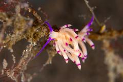 ミノウミウシの仲間 Aeolidida spp.