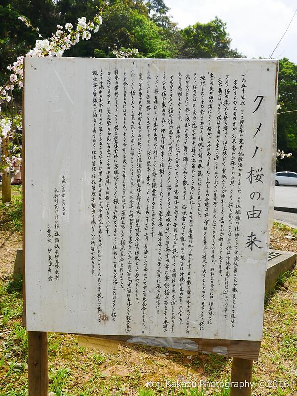 クメノサクラ -2016-4