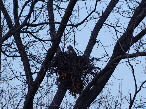 New Riverside Hawk Nest - 6311