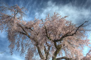 A famous tree of Sakura at Maruyama Park, Kyoto on APR 06, 2016 (18)