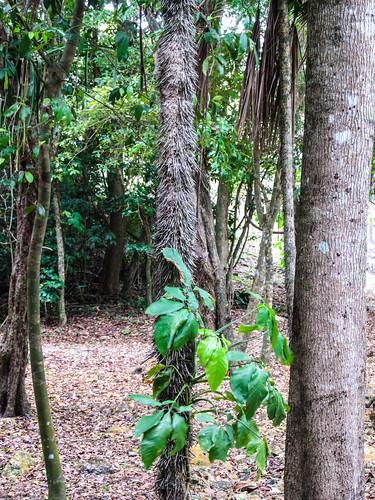 Lamanai: les aiguilles de cet arbre étaient utilisées dans la médecine maya. Mal utilisées, elles font immédiatement monter la fièvre.