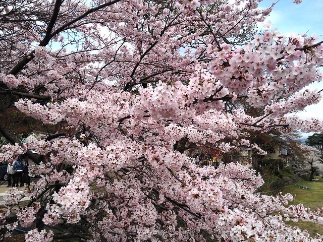 養老の滝 桜